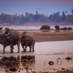 Büffel am Ufer des Mekong