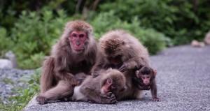 Affen am Straßenrand - auch das gibt es in Japan