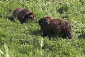 21 - wer in Alaska und Kanada unterwegs ist trifft viele Bären